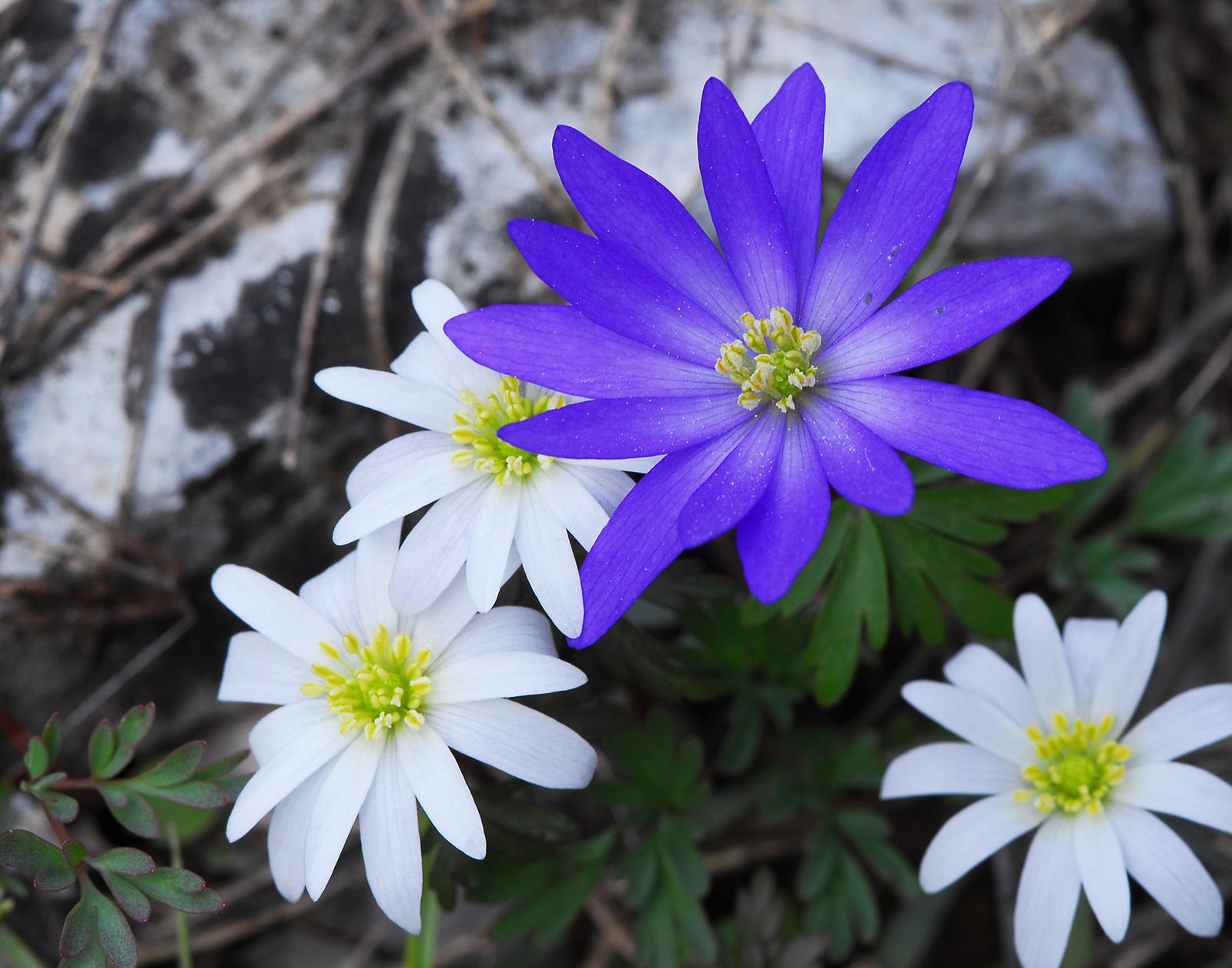 Yasemin Konuralp ile Toros Çiçekleri